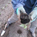 Süßkartoffeljungpflanze mit guter Durchwurzelung