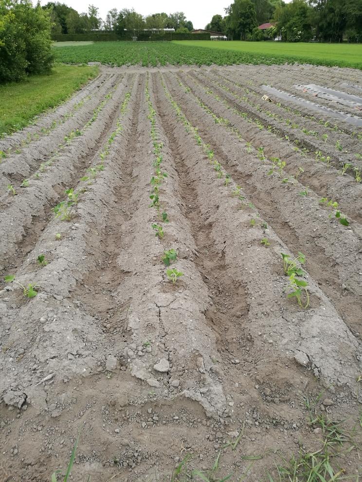 Süßkartoffeln auf Feld in Ismaning