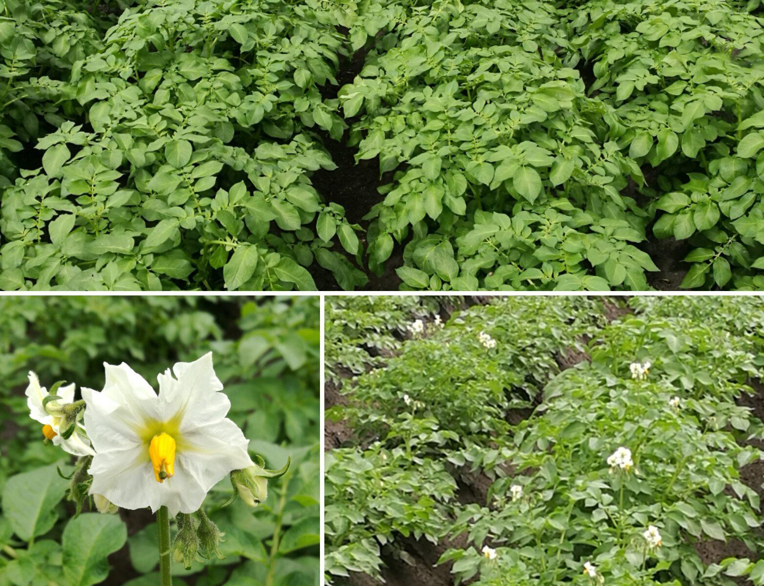 Kartoffelpflanzen mit und ohne Blüten.