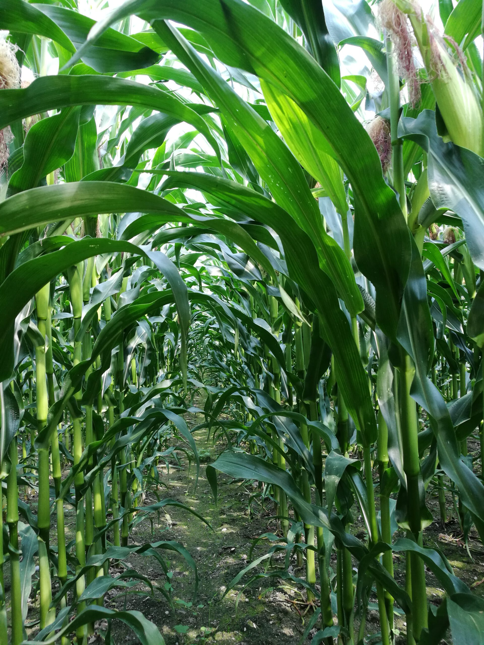 Was Mais kann, was viele Pflanzen nicht können