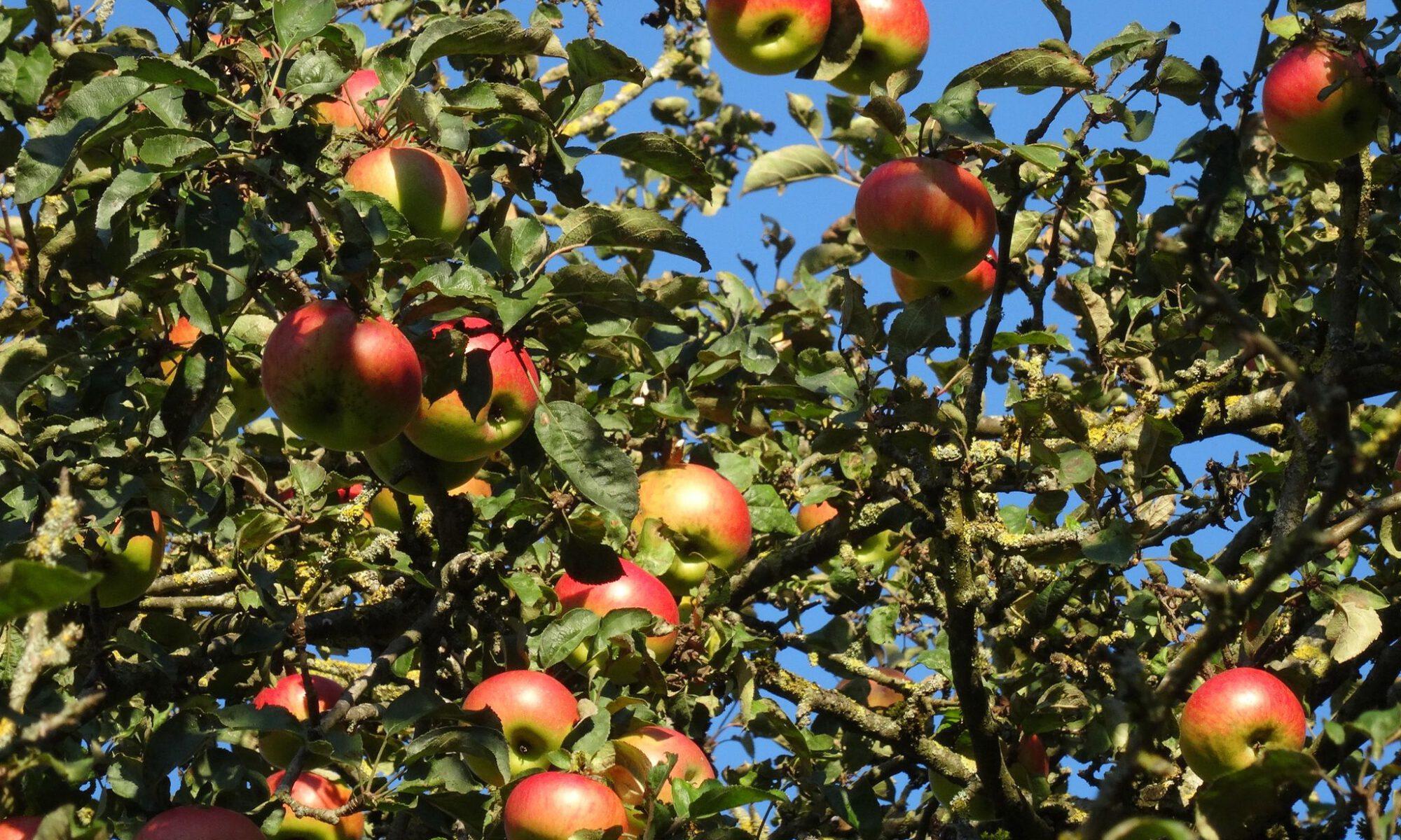 Äpfel aus Ismaning