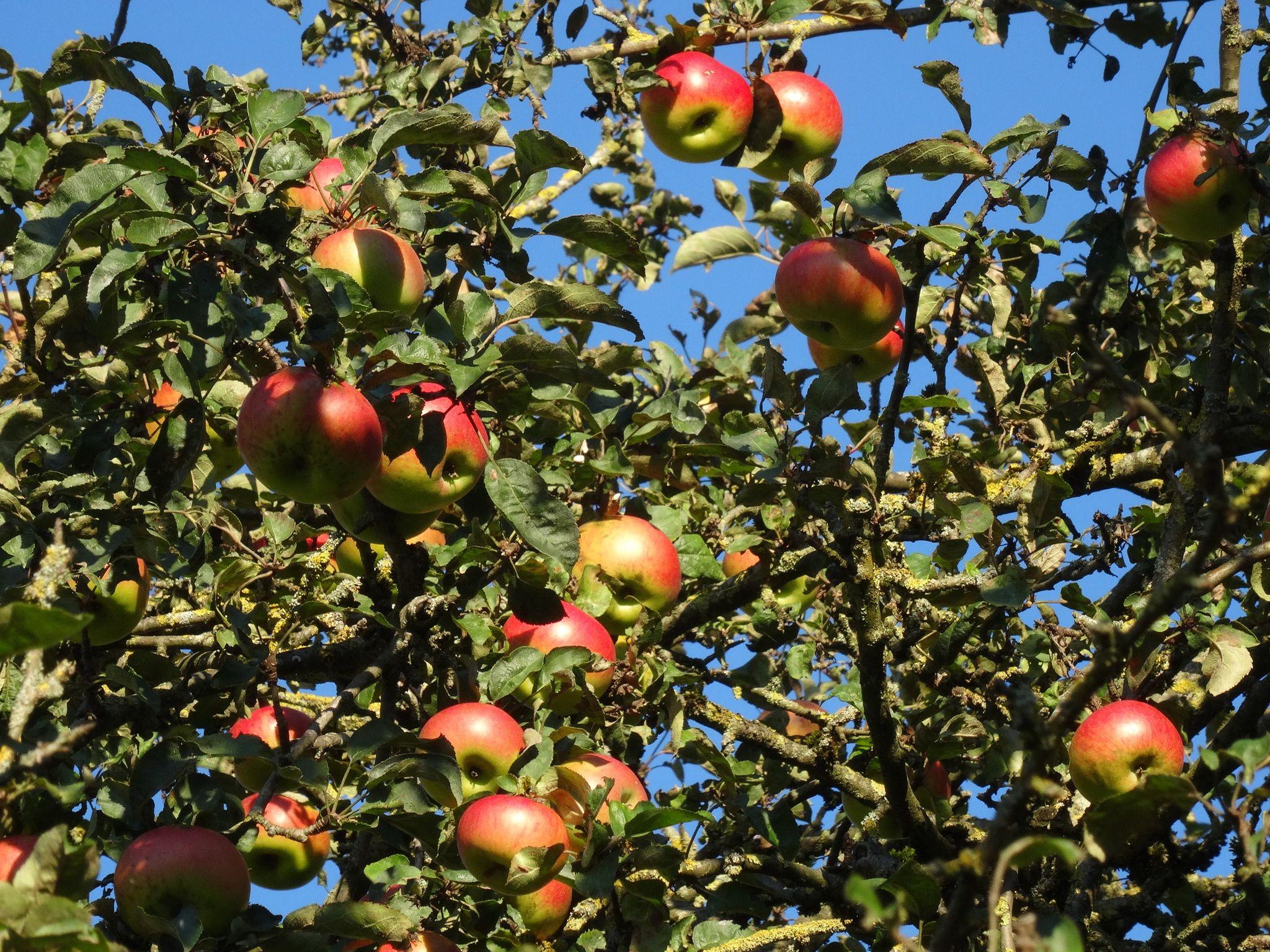 Äpfel vom Hallerhof jetzt bei uns im Hofladen