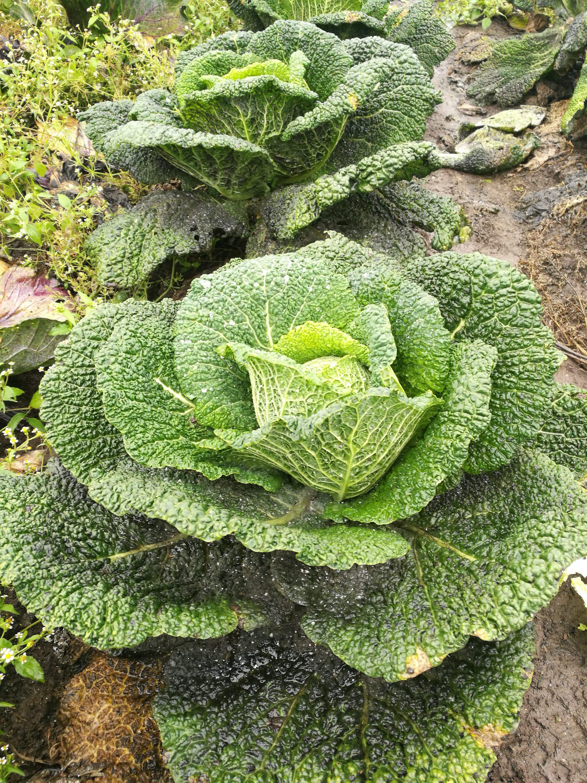 Wirsingpflanzerl als (gemüsehaltige) Alternative zu Fleischpflanzerl
